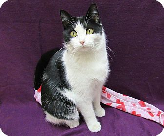 Domestic Shorthair Cat for adoption in Lexington, North Carolina - ITIM