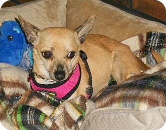 Chihuahua Mix Dog for adoption in Beavercreek, Ohio - Daisy May