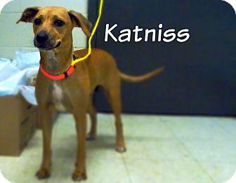 Labrador Retriever/Terrier (Unknown Type, Medium) Mix Dog for adoption in Defiance, Ohio - Katniss