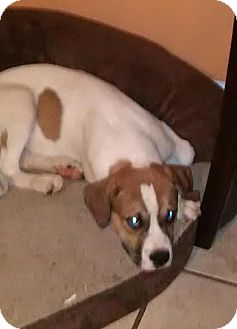 Boxer Mix Puppy for adoption in Lima, Pennsylvania - Charlie