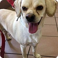 Adopt A Pet :: Angel - Las Vegas, NV
