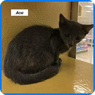 Russian Blue Cat for adoption in Miami, Florida - Ace