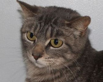 Domestic Shorthair/Domestic Shorthair Mix Cat for adoption in Robinson, Illinois - Harriett Ann