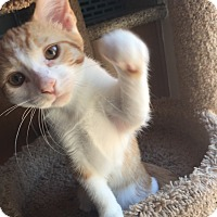 Domestic Mediumhair Kitten for adoption in Mission Viejo, California - Layafette