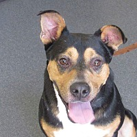 Manchester Terrier/Chow Chow Mix Dog for adoption in Middlebury, Connecticut - Case- IN SHELTER ONE YEAR