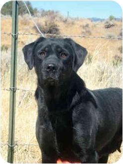 Labrador Retriever/Rottweiler Mix Dog for adoption in Sacramento, California - LONI sweety