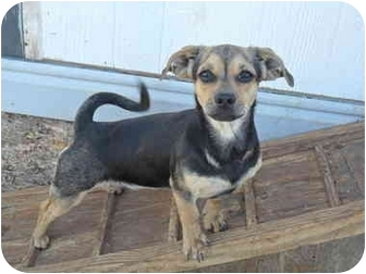 Pug Mix Puppy for adoption in Anton, Texas - Wednesday
