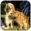 Photo 4 - Golden Retriever/Spaniel (Unknown Type) Mix Dog for adoption in Hamburg, Pennsylvania - Puggles & Tuggles