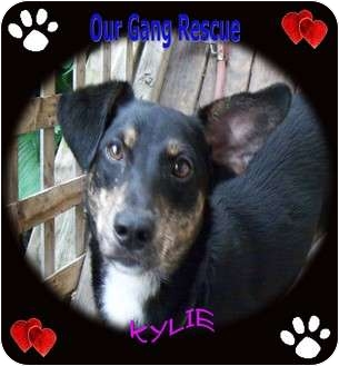 Dachshund/Terrier (Unknown Type, Small) Mix Dog for adoption in Cincinnati, Ohio - Kylie