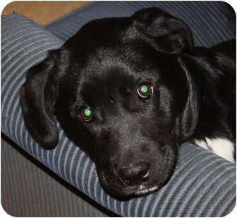 Labrador Retriever/Shepherd (Unknown Type) Mix Puppy for adoption in Marion, Arkansas - Derek