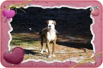Boxer/Terrier (Unknown Type, Medium) Mix Dog for adoption in Spring Valley, New York - Chance 2