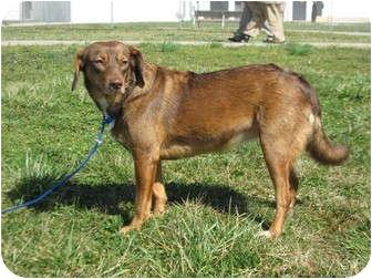 Vizsla/Hound (Unknown Type) Mix Dog for adoption in LaGrange, Kentucky - Kate