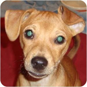Chihuahua Mix Puppy for adoption in Naperville, Illinois - Remy