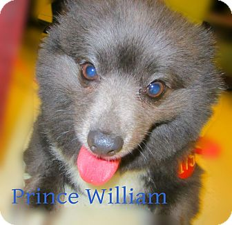Pomeranian Mix Dog for adoption in Beaumont, Texas - Prince Michael