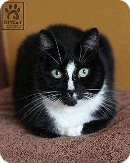 Domestic Shorthair Cat for adoption in Lancaster, Massachusetts - Matthew
