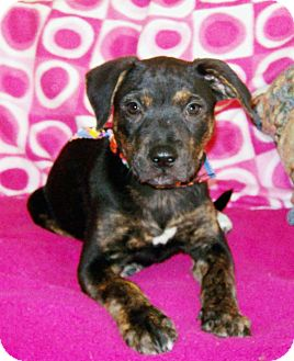 Doberman Pinscher/Plott Hound Mix Puppy for adoption in Salem, New Hampshire - PUPPY GABBI ANNE