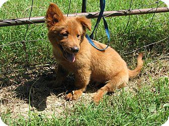 Sheltie, Shetland Sheepdog/Dachshund Mix Puppy for adoption in Hartford, Connecticut - Willie