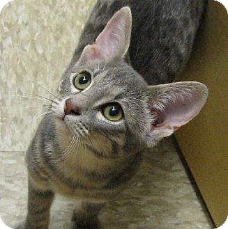 Domestic Shorthair Kitten for adoption in Tulsa, Oklahoma - Anchovy