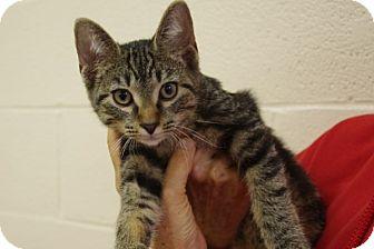 Domestic Shorthair Kitten for adoption in Elyria, Ohio - Spark Plug