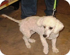 Bichon Frise Mix Dog for adoption in Schertz, Texas - Esther JH