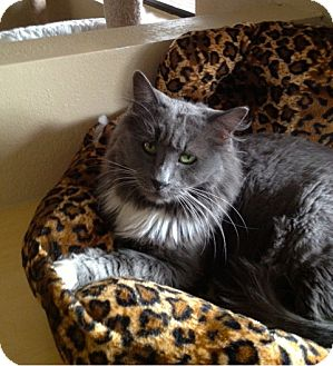 Domestic Mediumhair Cat for adoption in Fountain Hills, Arizona - REESE