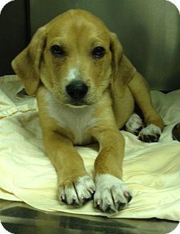 Collie/Beagle Mix Puppy for adoption in Richmond, Virginia - Jaxon