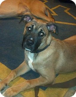 Shepherd (Unknown Type)/Mastiff Mix Puppy for adoption in Morgantown, West Virginia - Eve