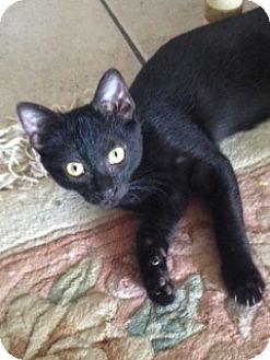 Domestic Shorthair Cat for adoption in Schertz, Texas - Jazz MT