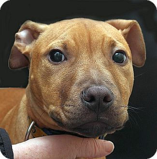 American Pit Bull Terrier Puppy for adoption in Berkeley, California - Teddy