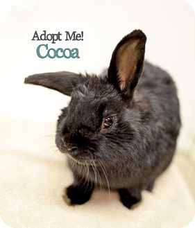 American for adoption in West Des Moines, Iowa - Cocoa