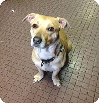 Corgi/Labrador Retriever Mix Dog for adoption in West Hartford, Connecticut - Eddie
