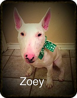 Bull Terrier Dog for adoption in Dallas, Texas - Zoey