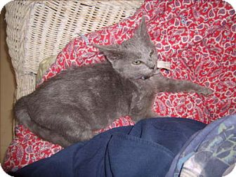 American Bobtail Cat for adoption in Newburgh, Indiana - gertie