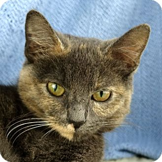 Domestic Shorthair Cat for adoption in Columbia, Illinois - Bandit