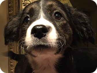 Border Collie/Australian Shepherd Mix Puppy for adoption in PLAINFIELD, Indiana - Lucy