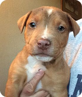 Cattle Dog/Pit Bull Terrier Mix Puppy for adoption in Cave Creek, Arizona - Skipper