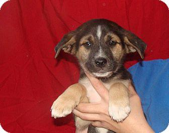 German Shepherd Dog/Labrador Retriever Mix Puppy for adoption in Oviedo, Florida - Zeus