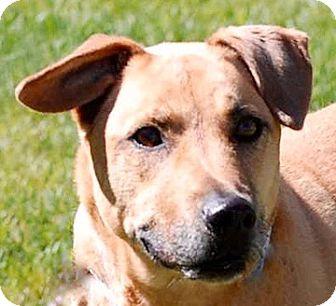 Boxer Mix Dog for adoption in Portola, California - Minnie