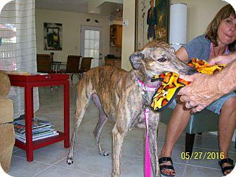 Greyhound Dog for adoption in Sarasota, Florida - Boc's Pickup Line