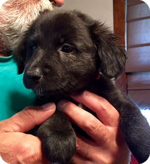 Border Collie/Shepherd (Unknown Type) Mix Puppy for adoption in ST LOUIS, Missouri - ANDREA