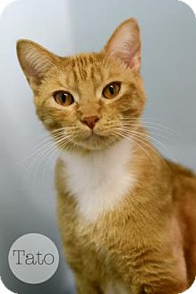 Domestic Shorthair Cat for adoption in West Des Moines, Iowa - Tato