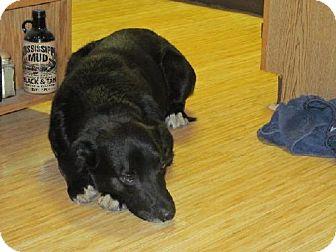 Labrador Retriever/Border Collie Mix Dog for adoption in Cedar Rapids, Iowa - Bo