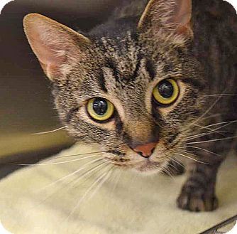 Domestic Shorthair Cat for adoption in Sierra Vista, Arizona - Koda