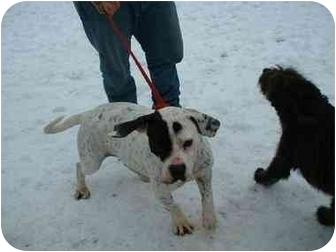 Bulldog Dog for adoption in Makinen, Minnesota - Nickel