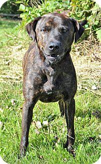 Pit Bull Terrier/Labrador Retriever Mix Dog for adoption in Michigan City, Indiana - Marko