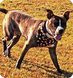 Boxer/Labrador Retriever Mix Dog for adoption in Goodlettsville, Tennessee - Radar