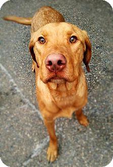 Labrador Retriever Mix Dog for adoption in Sauk Rapids, Minnesota - Cletus