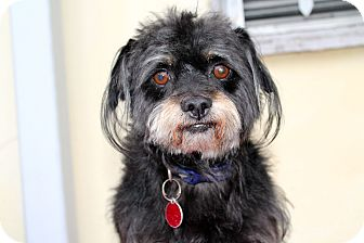 Havanese/Terrier (Unknown Type, Medium) Mix Dog for adoption in Los Angeles, California - Seargent