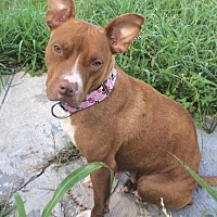 American Staffordshire Terrier Mix Dog for adoption in THREE RIVERS, Massachusetts - Nala