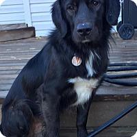 Adopt A Pet :: Cole - St Louis, MO